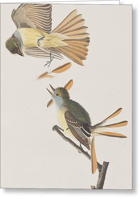 Great Drawings Greeting Cards - Great Crested Flycatcher Greeting Card by John James Audubon