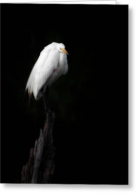 Ghostly Greeting Cards - Great Egret Greeting Card by Bill Wakeley