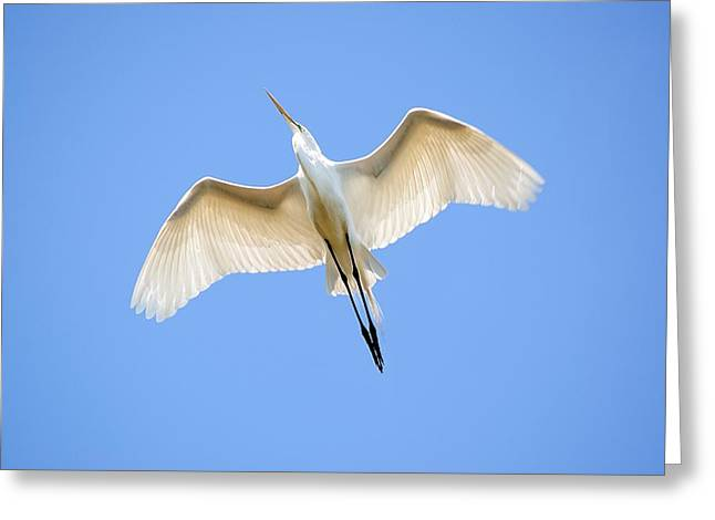 Great Egret Greeting Cards - Great Egret In Flight Greeting Card by Kenneth Albin