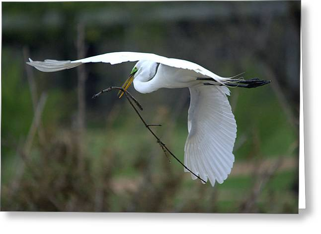 Hunting Bird Greeting Cards - Great Egret Nest Materials Greeting Card by Roy Williams