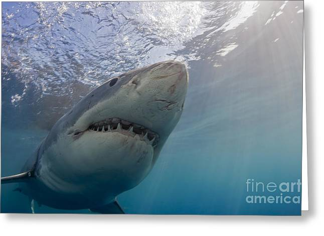 Guadalupe Island Greeting Cards - Great White Shark  Carcharodon Greeting Card by Dave Fleetham