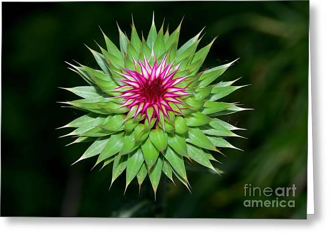 Greater Burdock Greeting Cards - Greater burdock Greeting Card by Igor Aleynikov