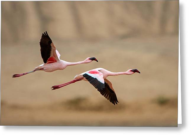 Greater Flamingo Greeting Cards - Greater Flamingos Phoenicopterus Roseus Greeting Card by Panoramic Images