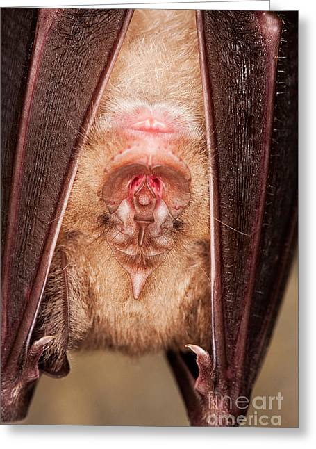 Greater Horseshoe Bat R. Ferrumequinum Greeting Card by Gerard Lacz
