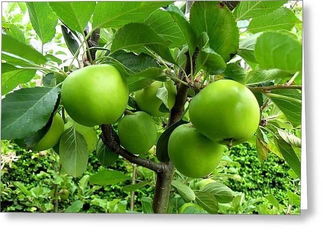 Fruit Tree Art Print Greeting Cards - Green Apples Greeting Card by Patrick J Murphy