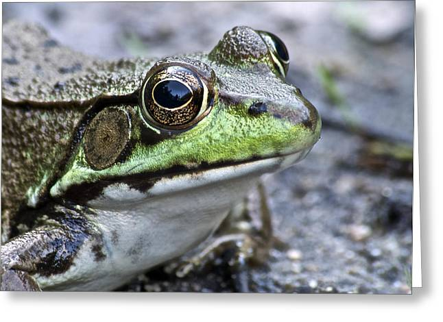 Green Frog Greeting Cards - Green Frog Greeting Card by Michael Peychich