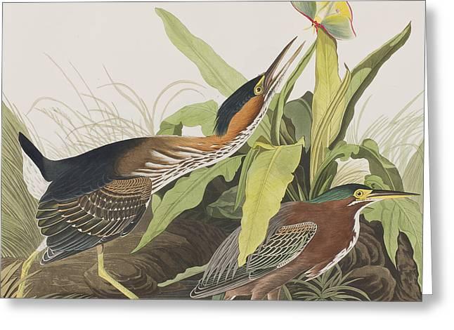 Green Heron Greeting Card by John James Audubon