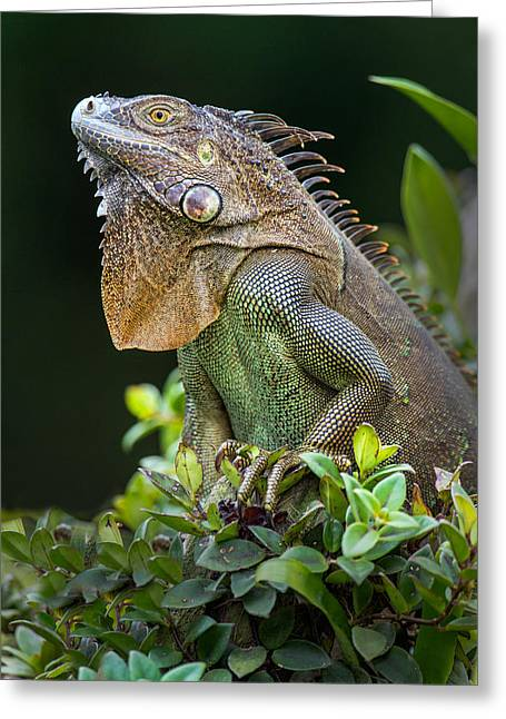 Animal Body Part Greeting Cards - Green Iguana Iguana Iguana, Sarapiqui Greeting Card by Panoramic Images
