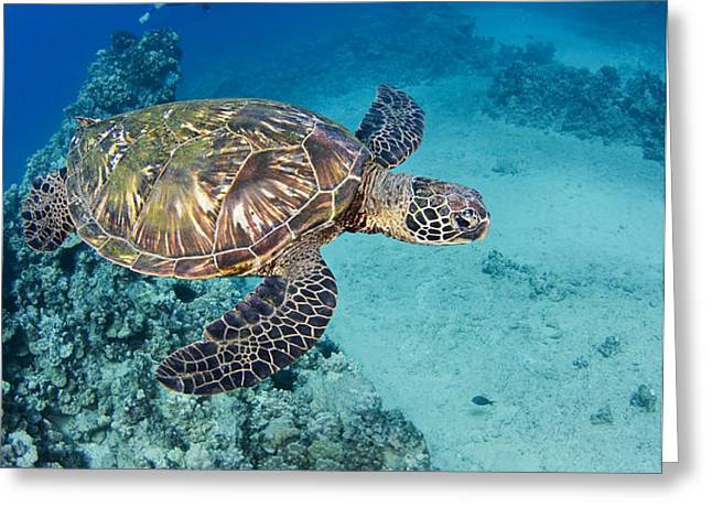 green sea turtles  Greeting Card by Dave Fleetham - Printscapes