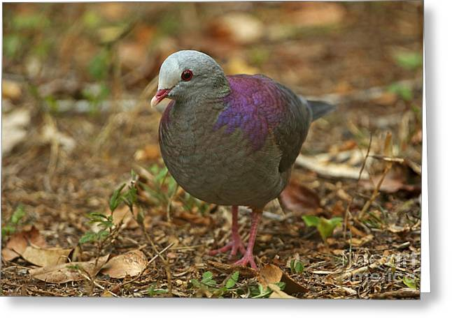 Greater Antilles Greeting Cards - Grey-fronted Quail-dove Greeting Card by Neil Bowman/FLPA