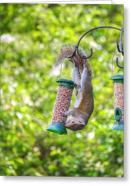 Sciurus Carolinensis Greeting Cards - Grey Squirrel Greeting Card by Chris Day