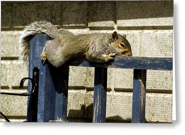 Sciurus Carolinensis Greeting Cards - Grey Squirrel Greeting Card by Mike Lester