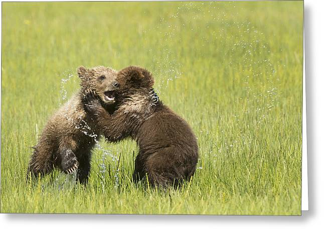 Rearing Up Greeting Cards - Grizzly Bear  Ursus Arctos Horribilis Greeting Card by Daisy Gilardini