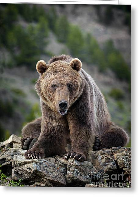 Grizzly Bear  Greeting Card by Wildlife Fine Art