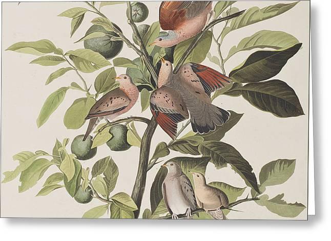 Ground Greeting Cards - Ground Dove Greeting Card by John James Audubon