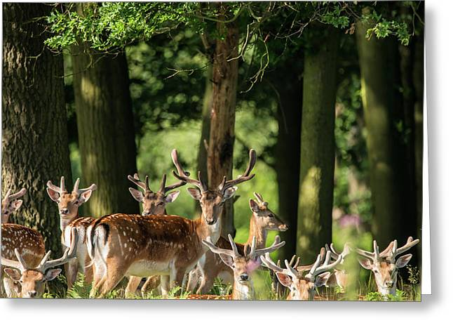 Group Of Young Fallow Deer Dama Dama Stags In Countryside Landsc Greeting Card by Matthew Gibson