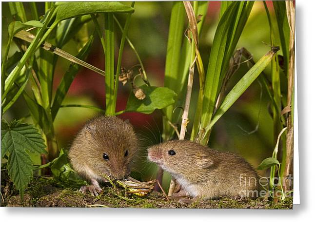 Mouse Photographs Greeting Cards - Harvest Mice Eating Grasshopper Greeting Card by Jean-Louis Klein & Marie-Luce Hubert