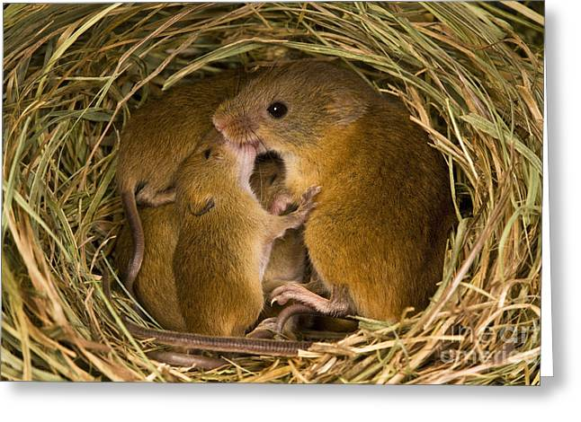 Mouse Photographs Greeting Cards - Harvest Mouse Feeding Pups Greeting Card by Jean-Louis Klein & Marie-Luce Hubert