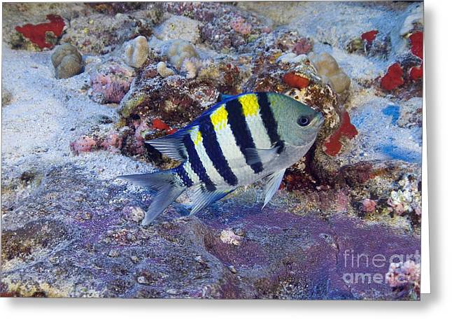 Hawaii, Marine Life Greeting Card by Dave Fleetham - Printscapes