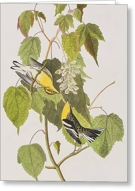 Warblers Greeting Cards - Hemlock Warbler Greeting Card by John James Audubon