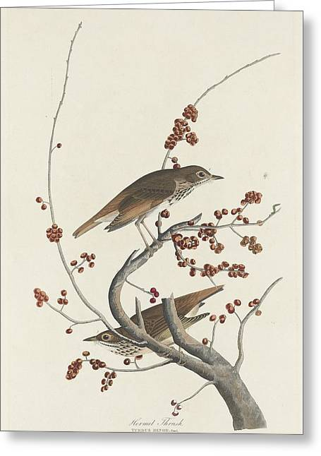 Hermit Greeting Cards - Hermit Thrush Greeting Card by John James Audubon