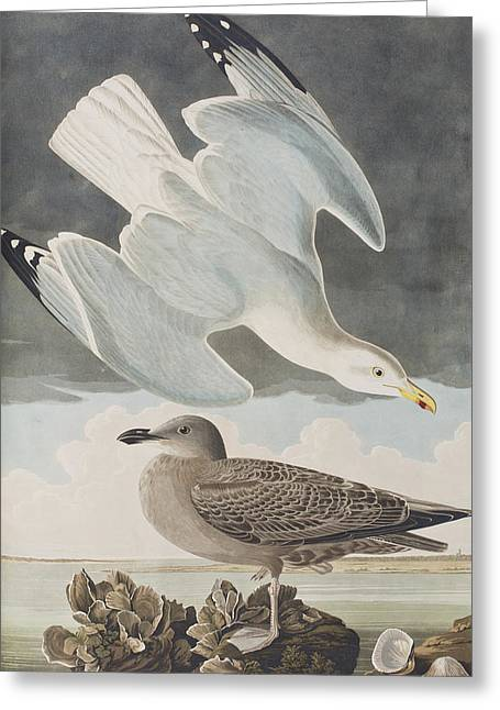 Sea Shell Drawings Greeting Cards - Herring Gull Greeting Card by John James Audubon