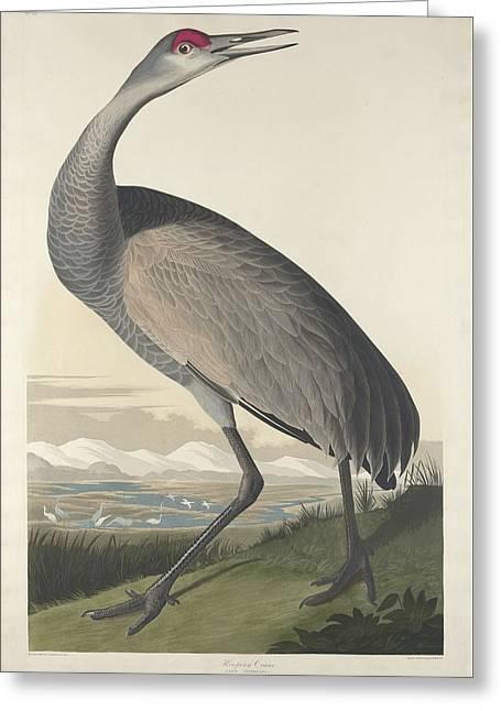 Herons Drawings Greeting Cards - Hooping Crane Greeting Card by John James Audubon