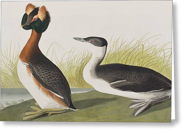 Horn Greeting Cards - Horned Grebe Greeting Card by John James Audubon