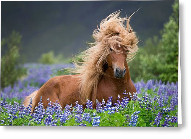 Domesticated Flower Greeting Cards - Horse Running By Lupines. Purebred Greeting Card by Panoramic Images