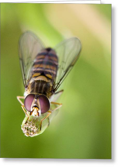Beekeepers Greeting Cards - Hoverfly Greeting Card by Andre Goncalves