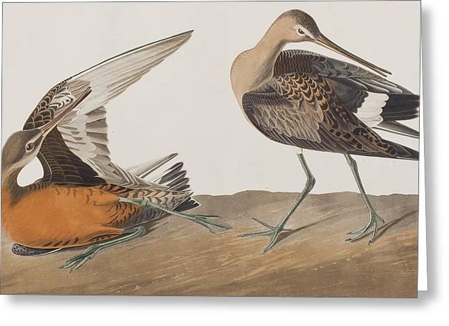 Taxonomy Greeting Cards - Hudsonian Godwit Greeting Card by John James Audubon