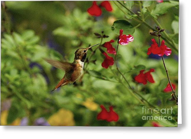 Hovering Greeting Cards - Hummingbird Greeting Card by Marc Bittan