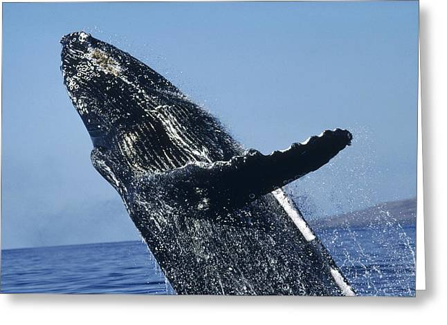 Cetaceans Greeting Cards - Humpback Whale Breaching Hawaii Greeting Card by Flip Nicklin