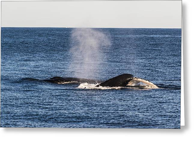 Beach Greeting Cards - Humpback Whales off Surfers Paradise Greeting Card by David Williams