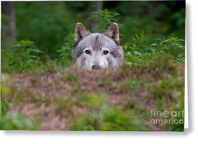 Black. Timber Wolf Photography Greeting Cards - I See You Greeting Card by Michael Cummings