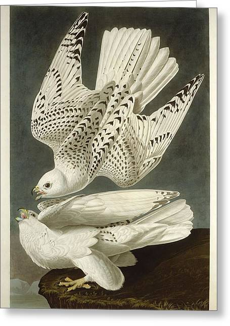 Falcon Greeting Cards - Iceland or Jer Falcon Greeting Card by John James Audubon