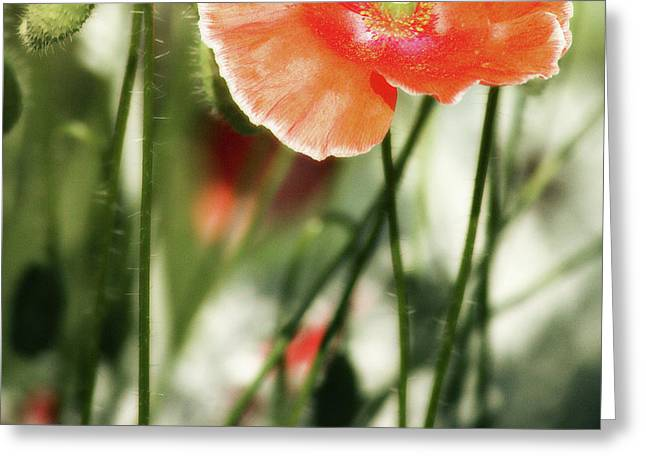 Olive Green Greeting Cards - Icelandic Poppy Greeting Card by Bonnie Bruno