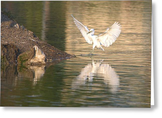 Hunting Bird Greeting Cards - Immature Little Blue Heron Prepared For Landing Greeting Card by Roy Williams