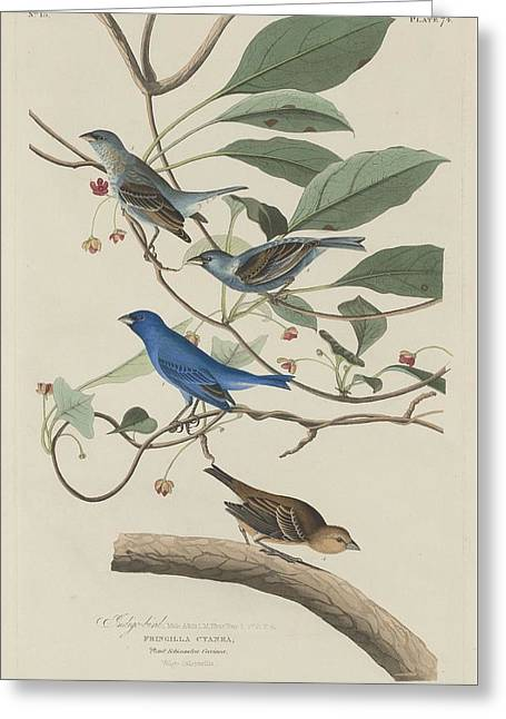 Indigo Bird Greeting Card by John James Audubon