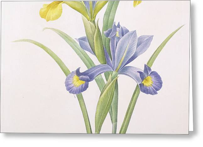 Iris xiphium Greeting Card by Pierre Joseph Redoute