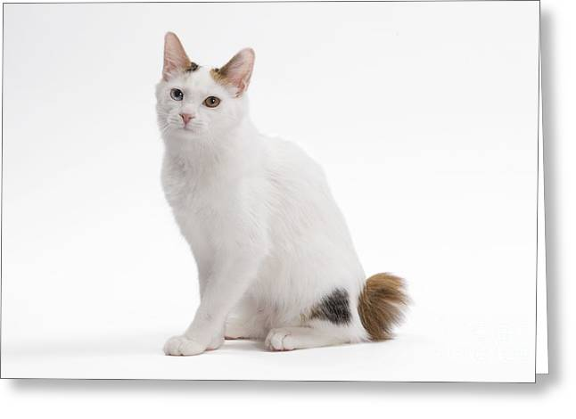Bobtails Greeting Cards - Japanese Bobtail Cat Greeting Card by Jean-Michel Labat