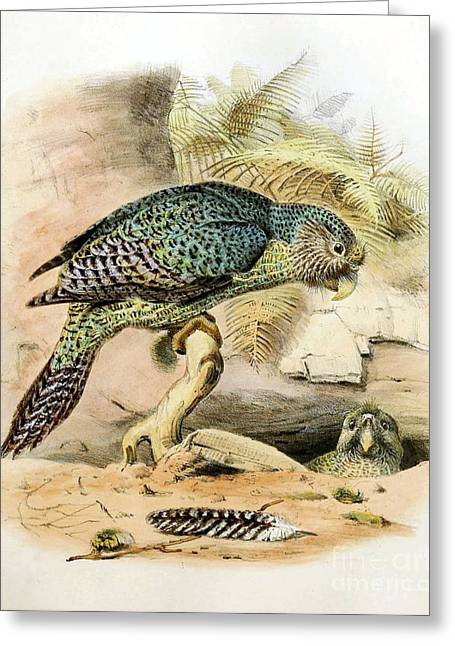 Critically Endangered Species Greeting Cards - Kakapo, Endangered Species Greeting Card by Biodiversity Heritage Library