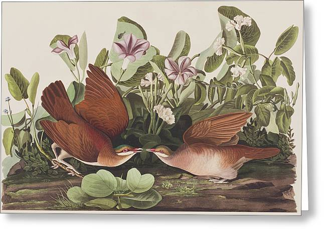 Birds Drawings Greeting Cards - Key West dove Greeting Card by John James Audubon