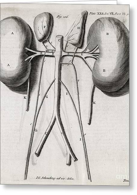 Philosophical Transactions Greeting Cards - Kidney Anatomy, 18th Century Greeting Card by Middle Temple Library