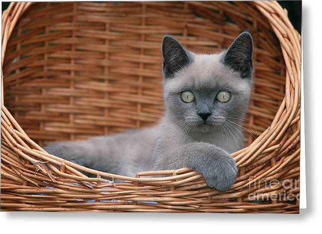 Gray Hair Greeting Cards - Kitten In A Basket Greeting Card by Johan De Meester