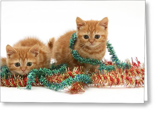 Tinsel Greeting Cards - Kittens With Tinsel Greeting Card by Jane Burton