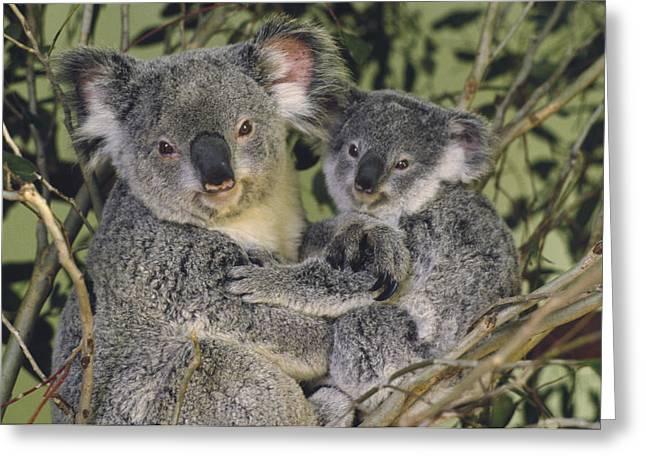 Emoting Greeting Cards - Koala Phascolarctos Cinereus Mother Greeting Card by Gerry Ellis