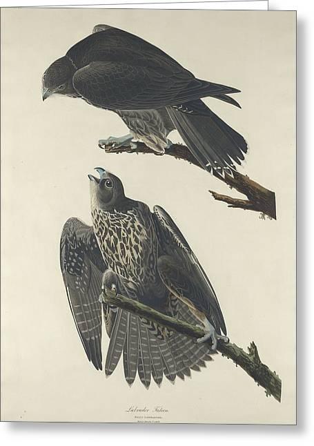 John James Audubon (1758-1851) Drawings Greeting Cards - Labrador Falcon Greeting Card by John James Audubon