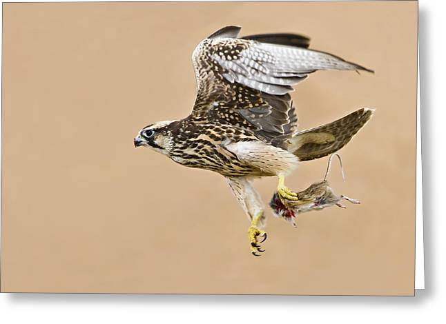 Falcon Hunting Greeting Cards - Lanner Falcon Greeting Card by Basie Van Zyl