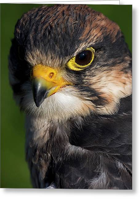 Skyhunter Greeting Cards - Lanner Falcon Greeting Card by JT Lewis